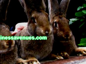A modern business plan for rabbit farming is what will help, taking into account today's realities, to form a stable operating enterprise that generates income. Those who are already engaged in raising rabbits will confirm how useful and interesting this business is, how quickly it can pay off if you approach the project with intelligence and acumen.