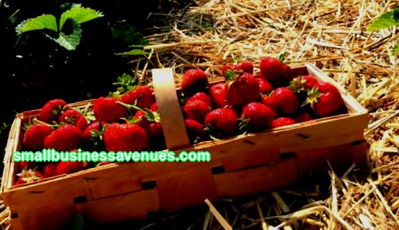 Strawberries are a delicious and healthy berry that many people love. Therefore, the business of growing it will be attractive for those who love and know how to work on the land. Then the berry will be on the table all year round, besides, it will turn out to be good money. Growing strawberries all year round is described in the article.