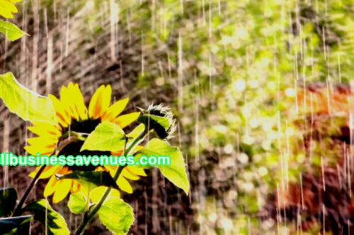 Business idea: growing sunflower Investments: from 1,000,000 rubles Payback: from 5 months Sunflower is an extremely promising crop in terms of agricultural business. It is unpretentious and