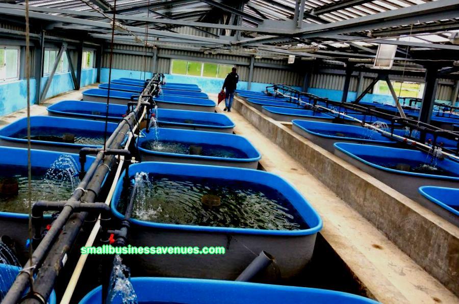 Sampi on suosittu ja erittäin arvokas kala, jota voidaan kasvattaa kotona. Kilpailu liiketoiminnassa on vähäistä, ja liiketoiminta vaatii paljon investointeja, joten suurin osa viljelijöistä poistetaan alusta. Totta, kotiolosuhteet soveltuvat helposti sampin kasvattamiseen kasvuolosuhteiden mukaan. Ja maatilan takaisinmaksuaika on korkeintaan 3 vuotta, vaikka optimaaliset indikaattorit olisivatkin. Arvostamme ajatusta Jos sinä
