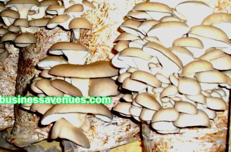 Growing oyster mushrooms as a business: technology, pros and cons