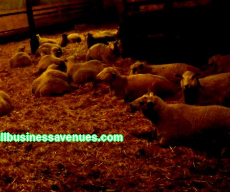 Often, aspiring entrepreneurs living in rural areas, when choosing the direction of their activities, they prefer to go in for sheep breeding. Sheep breeding is traditionally a popular business.