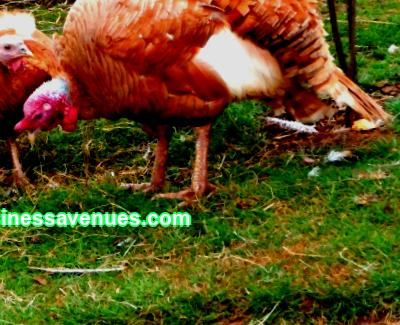Poultry farming as a small business from A to Z