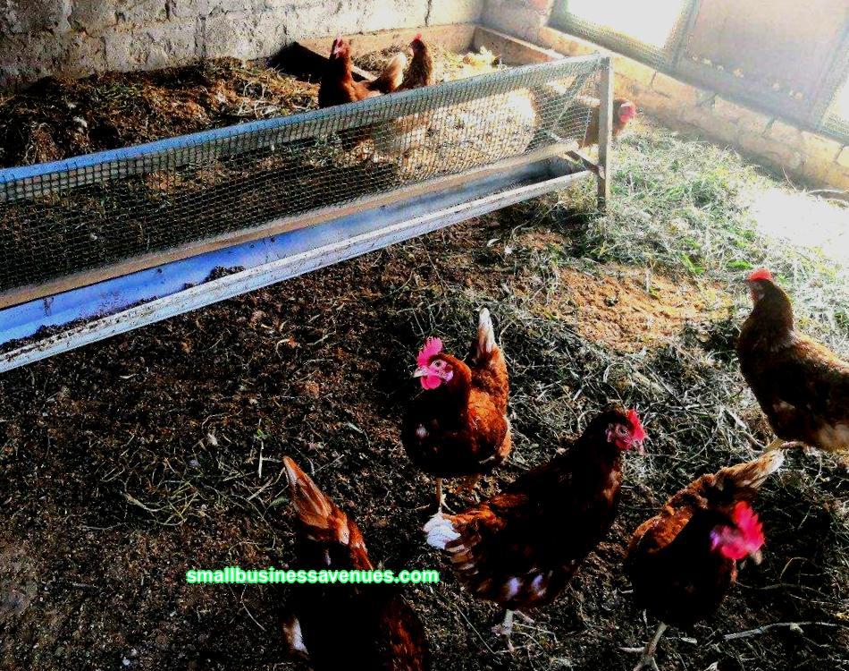 Kananmunien tuotanto kotitalouksien tontilla on kannattavaa, mutta kannattaako se yrityksenä