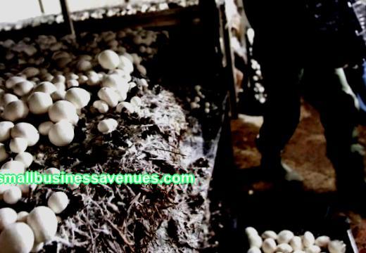Sēņu audzēšana mājās kā bizness